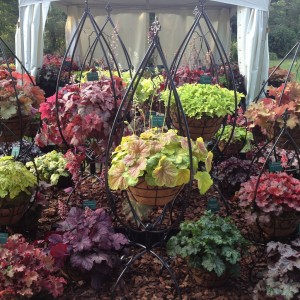 Plantagogo Heucheras at RHS Wisely Flower Show