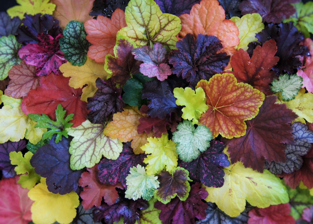 Heuchera, heucherella & Tiarella cornucopia of colour.