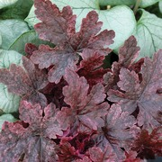 Berry Fizz Heucherella