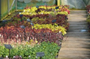 Plantagogo Nursery lots of rare & unusual Heucheras for sale