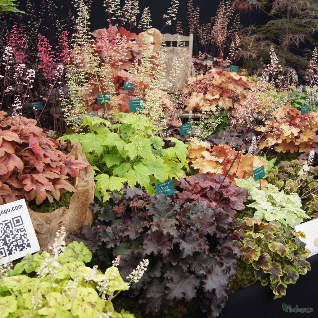 Heuchera Heucherella & Tiarella at RHS Tatton flower show last year showing the range of colour, shape and size.