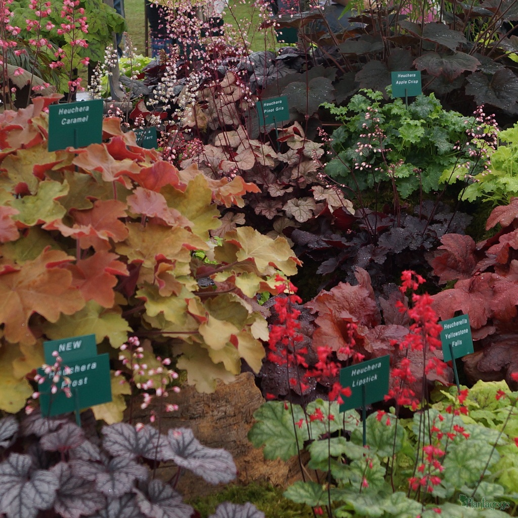 Heucheras at Southport Flower Show last August showing the contrasting colours and flowers.