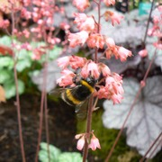 A bee on Heuchera flowers