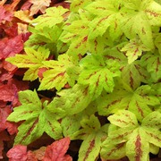 Heucherella Sunrise Fall in spring