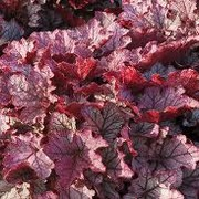 Heuchera Spell Bound