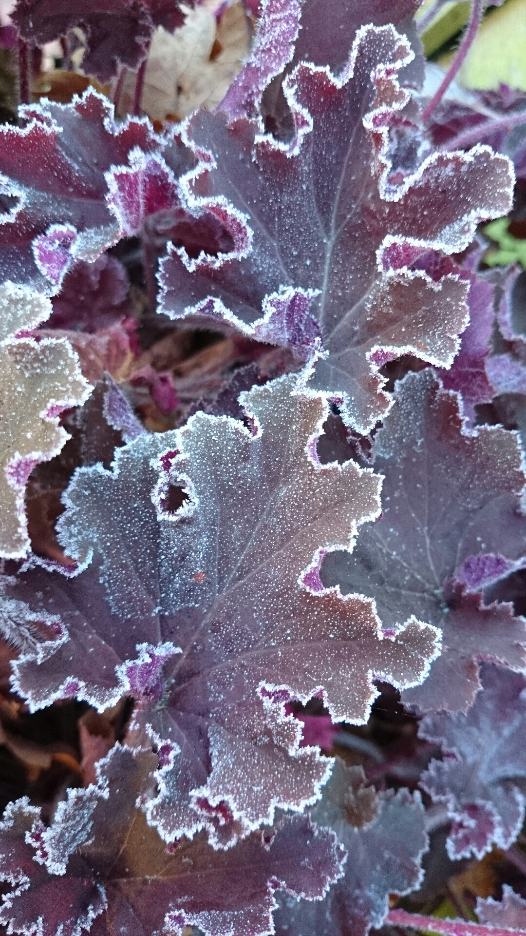 Heuchera Tangerine Wave