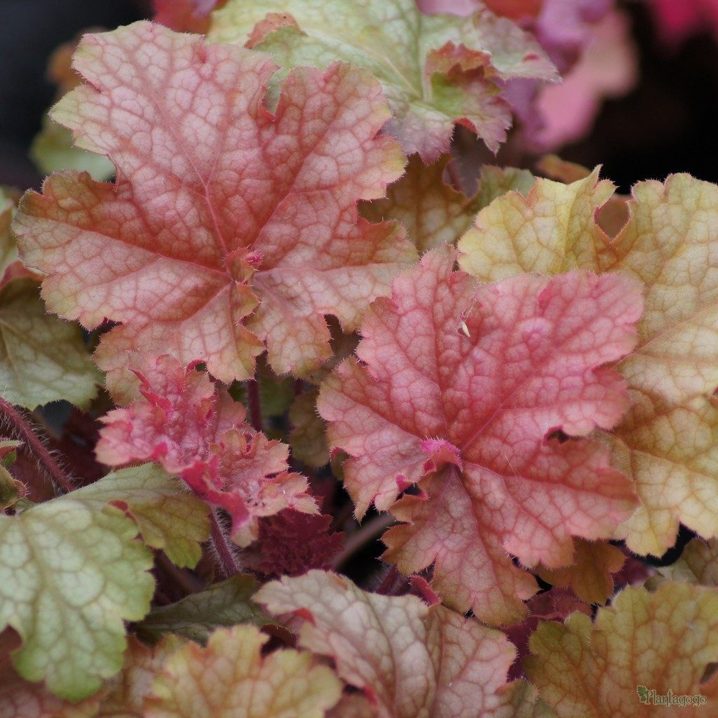 Heuchera Phoebes Blush named after Vickys Granny bred by Plantagogo