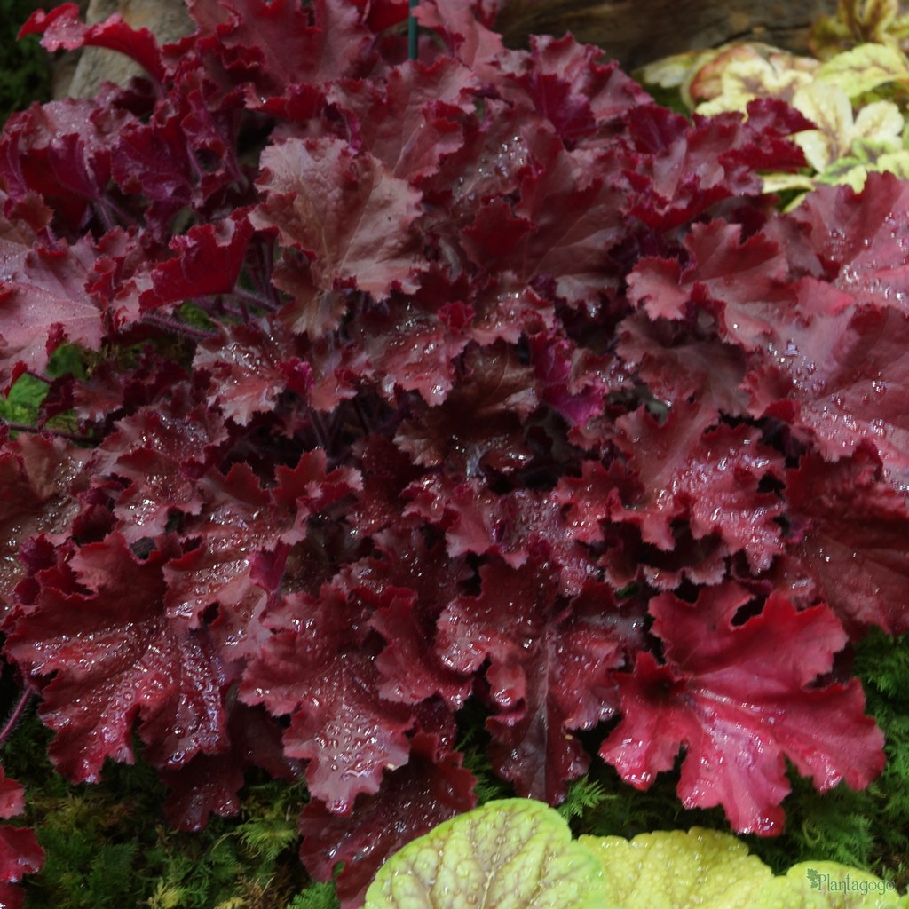 Heuchera 'Tangerine Wave' in Winter, bred by Plantagogo.
