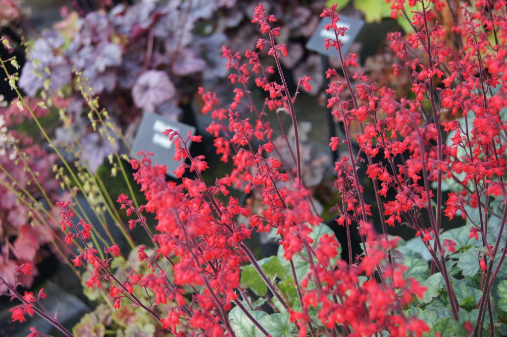 Heuchera 'Lipstick' the only true red!