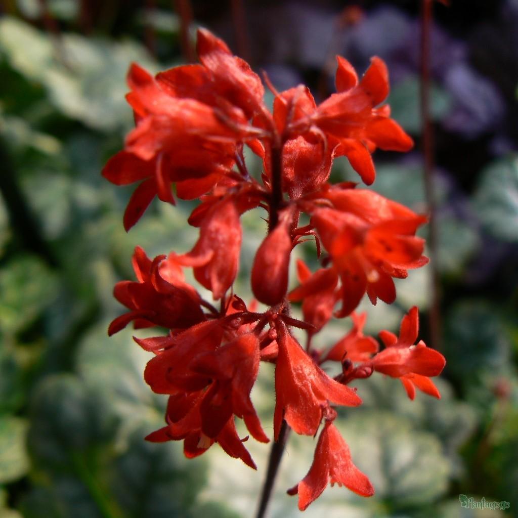 Heuchera 'Lipstick' Has the best red Flowers so far