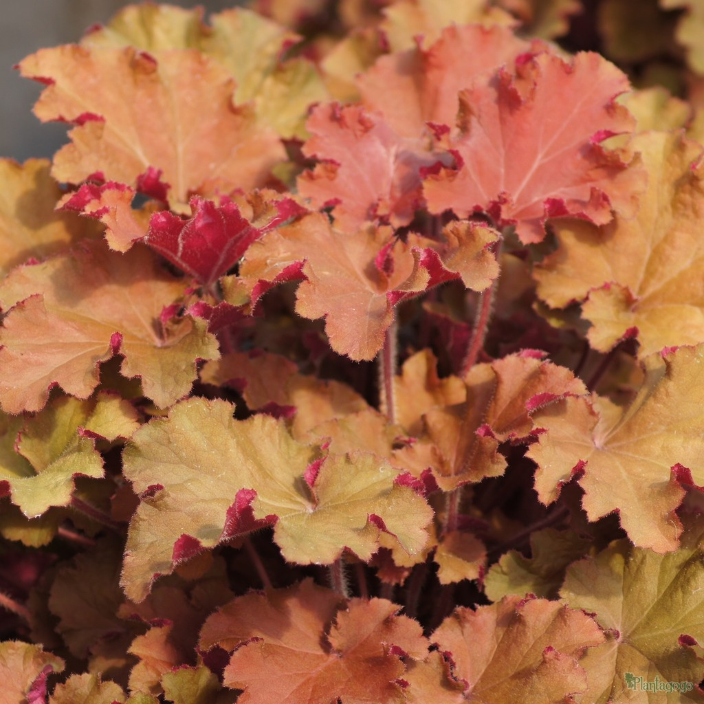 Heuchera 'Tangerine Wave' in Spring bred by Plantagogo