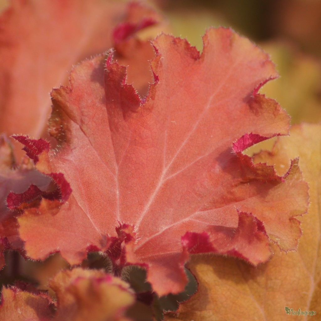 Heuchera 'Tangerine Wave' close up of leaf
