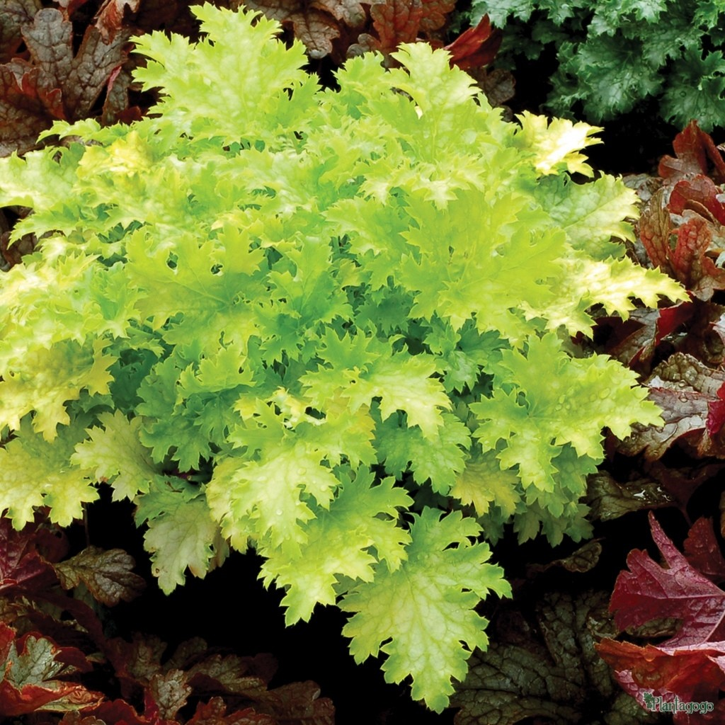Heuchera 'Pear Crsip' fabulous lime green foliage