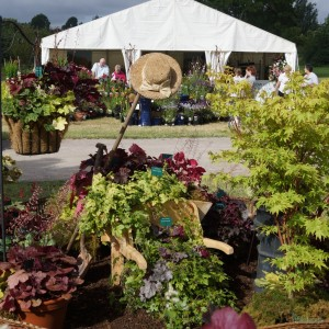 Heuchera, Heucherellas & Tiarellas in abundance for sale at RHS Hyde Hall August Flower Show