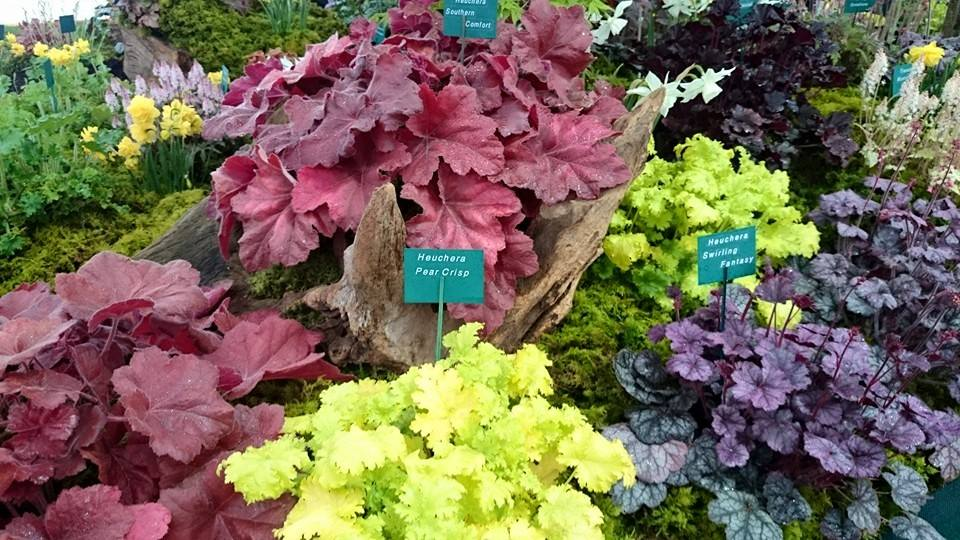 Heuchera great for easy to care for gardens