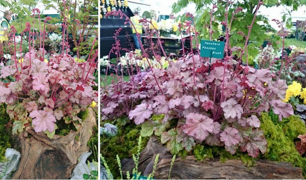 Heuchera phoebes blush collage