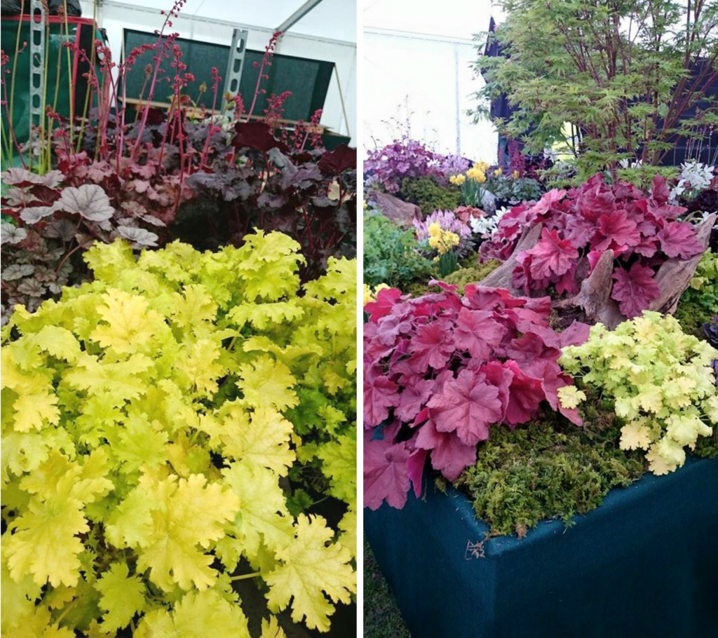 heuchera collage