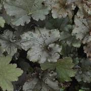 Binoche grown in lots of shade