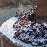 Blackberry Jam covered in snow