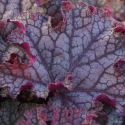 Heuchera Can Can close up of leaf in late summer
