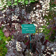 Heuchera Ebony and Ivory close up of plants in our display