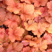 Heuchera 'Fire Alarm' sales plants in Spring