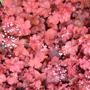 Heuchera Fire Chief sales plants in flower during the summer time