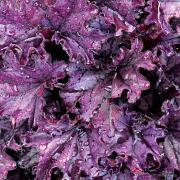 Heuchera 'Forever Purple' in Autumn