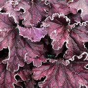 Heuchera  'Forever Purple' in Winter with frost on it.
