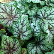 Heuchera 'Green Spice' in Summer