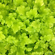 Heuchera Lime Marmalade in Spring