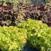 Heuchera Lime Ruffles flowering in the morning sun