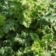 Heuchera Malachite up close to the foliage