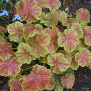 Heuchera Miracle late spring in our garden