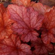 Close up of Heuchera Paprika foliage