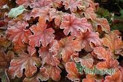 Heuchera Peach Flambe in frost during winter
