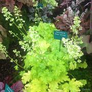 Heuchera Pear Crisp in our display at Rhs Hampton Court Flower show