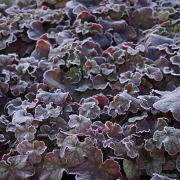 Heuchera Pinot Gris sales plants in winter on our nursery
