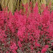 Heuchera Rave On in full flower on Terra Nova Nuresries USA