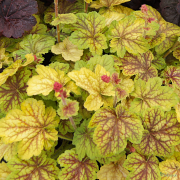 Heuchera Renoir showing it pink buds in Spring