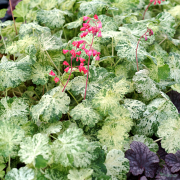 Heuchera Snowfire first flowers of the year