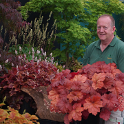 Heuchera Southern Comfort in May going into the Chelsea flower show display
