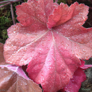Heuchera Southern Comfort close up of leaf in the late Summer