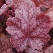 Heuchera Sparkling Burgundy leaf close up in late summer.