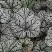 Close up of leaf of Heuchera Sugar Frosting