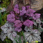 Heuchera Sugar Plum in Spring showing last year foliage and the new.