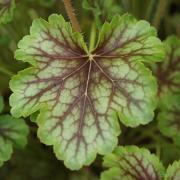Heuchera Thomas leaf close up