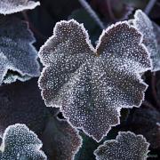 Heuchera Walnut With frost in Winter