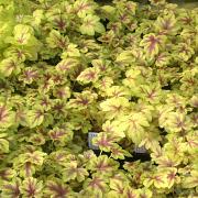Heucherella Gold Zebra Sales plants growing on the nursery