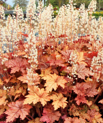 Heucherella Honey-Rose in Spring